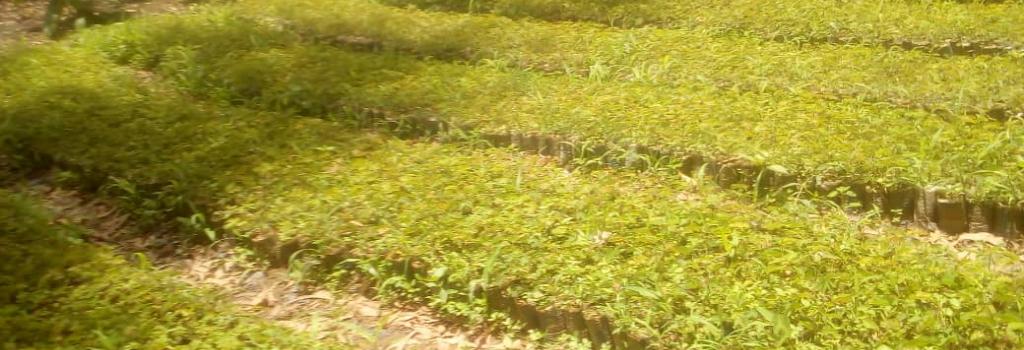 Les 2 000 acacias croissent dans la pépinière.