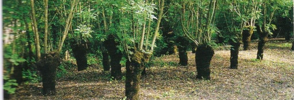 Kopfbäume in der Agroforstwirtschaft (Frankreich)